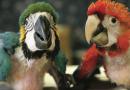 Pela criação comercial de aves brasileiras