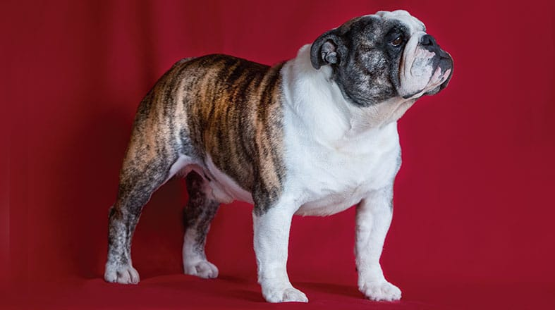 Bulldog: fama da raça pelo mundo