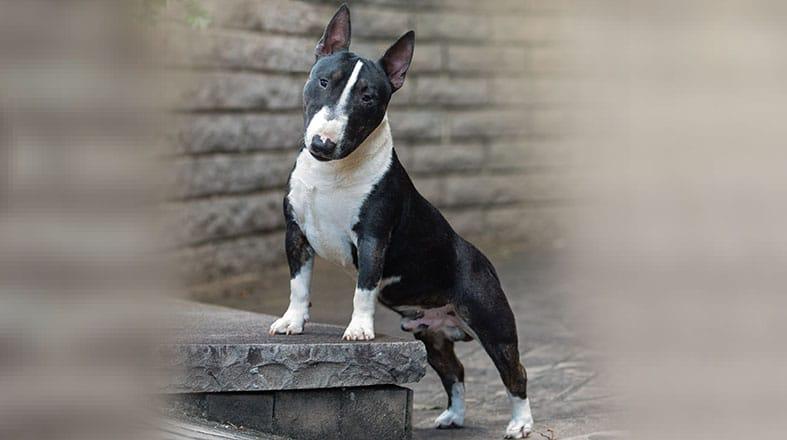 Bull Terrier Miniatura: como é conviver com ele?